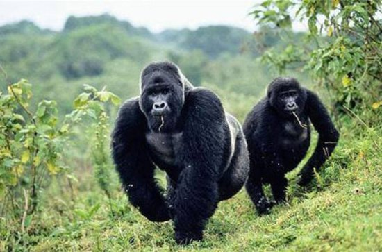 5 Days gorilla and kibale chimp