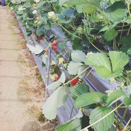 Kibi Farm Pika Pika