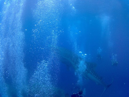 Ban's Diving Resort: Underwater Dive - Whale Shark!