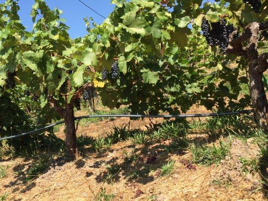 Ravenswood Winery: Vinyard