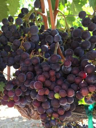 Ravenswood Winery: Grapes