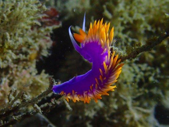 La Jolla Dive: nudibranch