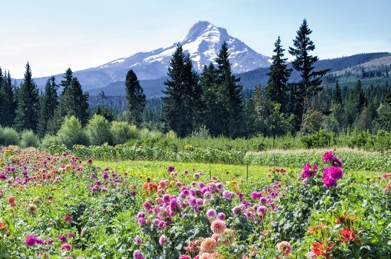 Parkdale, OR: Mountain View Orchards certainly does have amazing views of Mount Hood.
