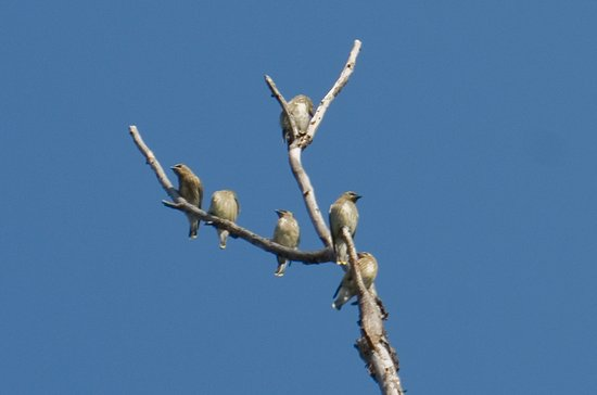 Mosier, OR: Cedar Waxwings fill a tree above the short hiking trail at Mayer State Park.