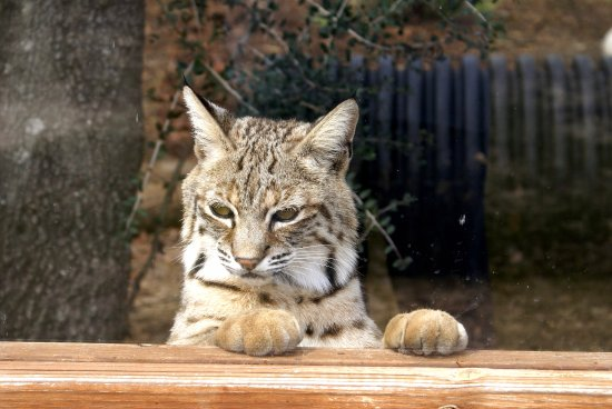 Emerald Coast Wildlife Refuge Zoological Park: Bobcat