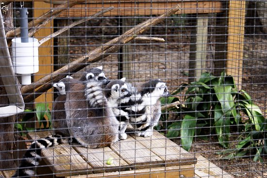 Emerald Coast Wildlife Refuge Zoological Park: Lemurs