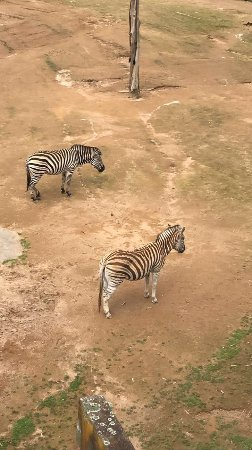 Auckland Zoo: Zebras in the South Africa enclosure