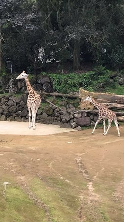 Auckland Zoo: Giraffes at the South Africa enclosure