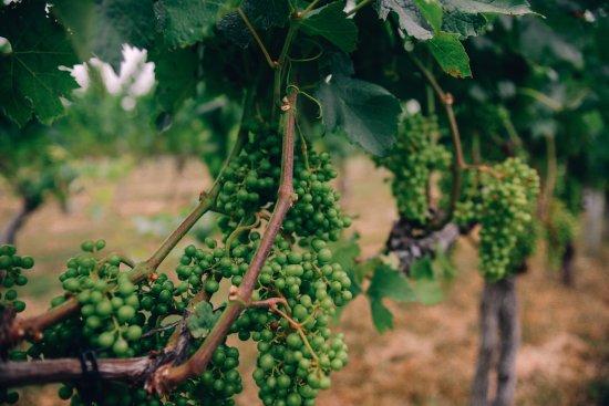 Macari Vineyards: Vineyards