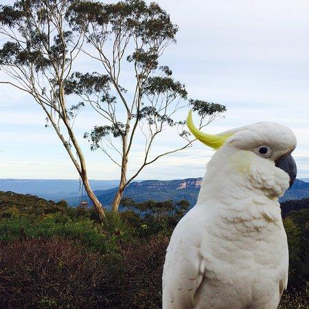 Wentworth Falls, Αυστραλία: Cockatoo on deck