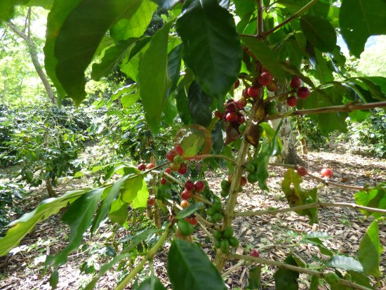 Dien Bien Province, Wietnam: farming on coffee plantation
