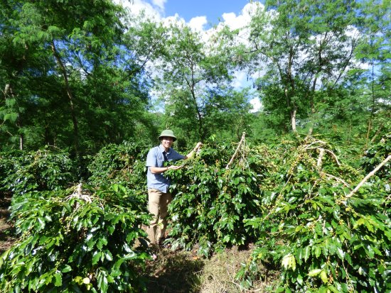 Dien Bien Province, Wietnam: coffee plantation in North West Region -Vietnam