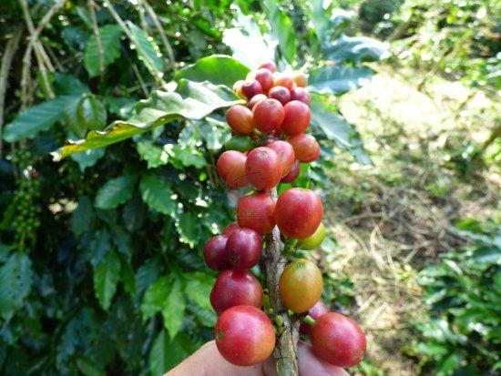 Tỉnh Điện Biên, Việt Nam: cherry coffee
