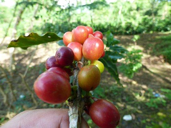 Tỉnh Điện Biên, Việt Nam: nice ripe beans