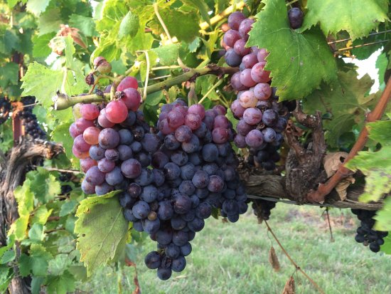 Watonga, OK: Oklahoma Grown Grapes