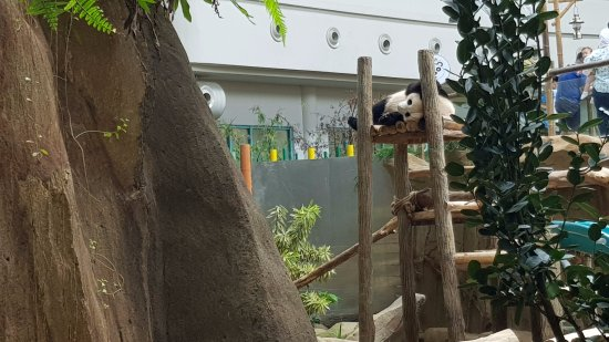 Zoo Negara: New Born baby Panda