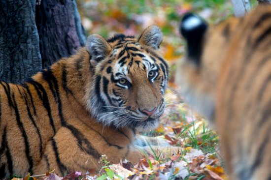 Bronx, Estado de Nueva York: Amur Tiger in Fall