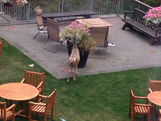 Rimrock Resort Hotel: Deer in the garden