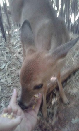 Dahlonega, Geórgia: The fawn enjoyed the corn.