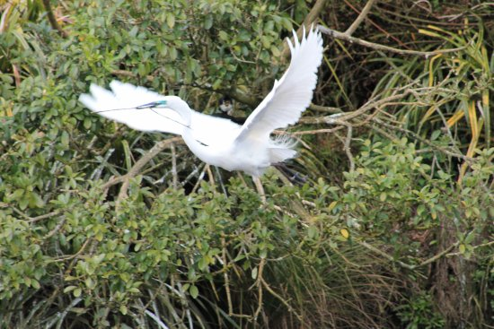 White Heron Sanctuary Tours: In Flight