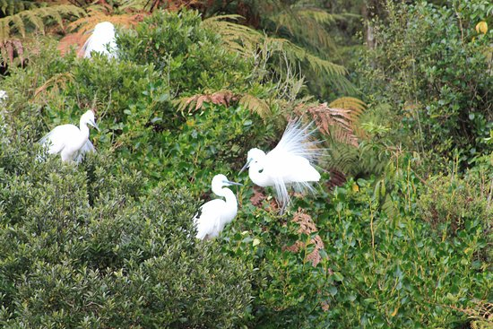 Whataroa, New Zealand: White Herons