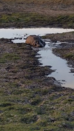 Sanctuary Chobe Chilwero: Our Best Hippo Sighting Yet!