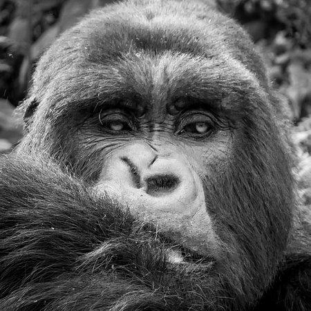 East Africa Adventure Tours and Safaris - Day Tours : Rwanda mountain gorillas