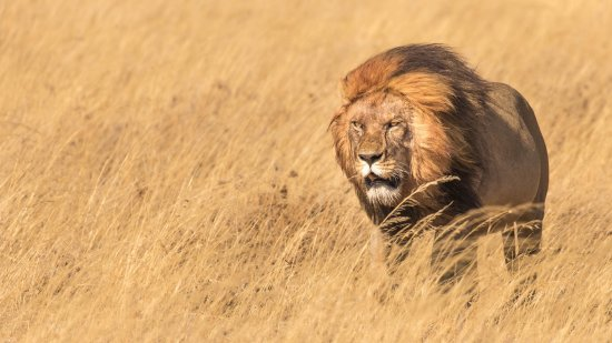 East Africa Adventure Tours and Safaris - Day Tours : Male lion in the Serengeti