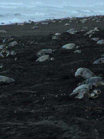Samara Adventure Company: Ostinial beach, Ridley turtles