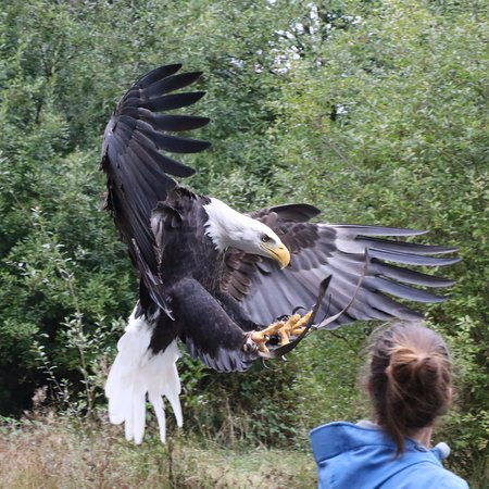 The Raptors: During the 13:30 flying display, the Bald Eagle coming into land on the handler's glove.
