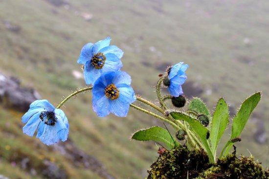 Blue poppy the national flower of bhutan picture of sp tours sp tours bhutan blue poppy the national flower of bhutan mightylinksfo