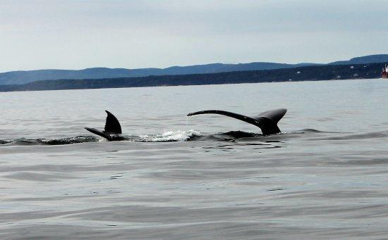 Les Escoumins, Canada: Baleine et son baleineau