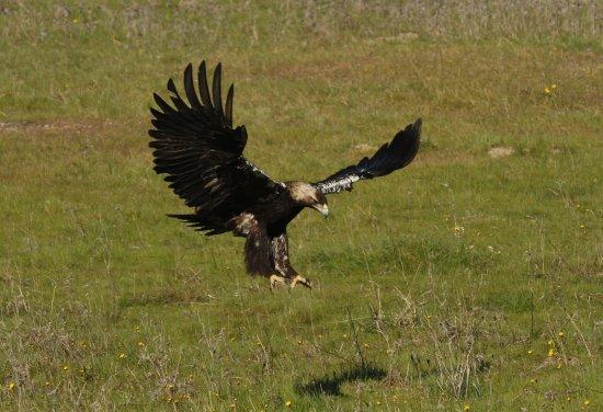 Alcántara, España: Águila imperial ibérica. Birdwatching