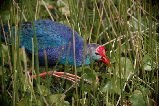 Wakodahatchee Wetlands : birds of Wakodahatchee
