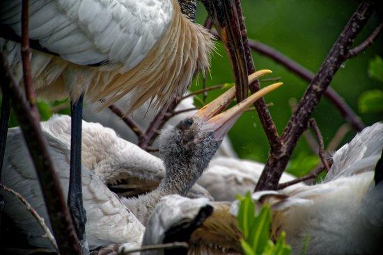 Wakodahatchee Wetlands: birds of Wakodahatchee