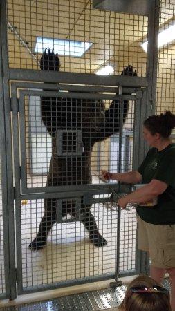แอปเปิลเวลลีย์, มินนิโซตา: Grizzly showing off to get a treat
