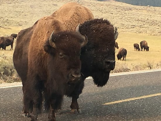 Gardiner, MT: Two bison, a bull and a cow