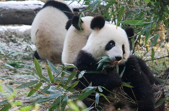 Giant Panda y Buddha 1 day tour