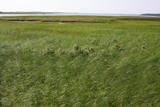 Saint-Louis-de-Kent, Kanada: Salt marsh with wild roses.