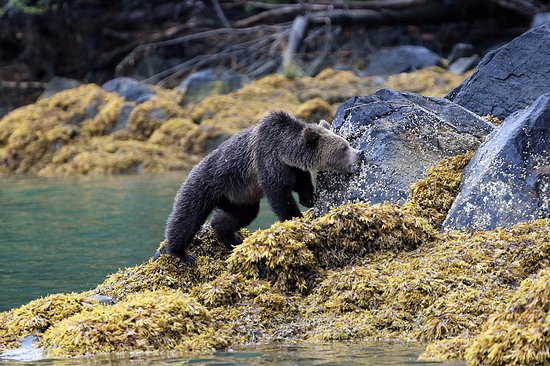 Tide Rip Grizzly Tours: Grizzly bear on our way into Knight Inlet, excellent spotting skills!