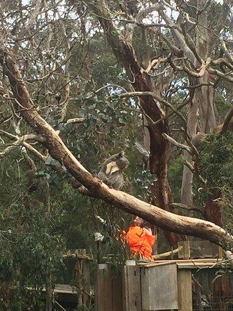 Cowes, Australië: Phillip Island Nature Parks - Koala Conservation Centre