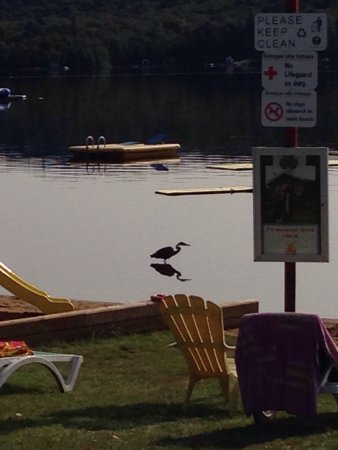 Oxtongue Lake Cottages: A visit from the Blue Heron