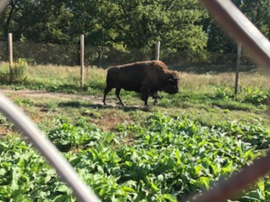 Buffalo Rock State Park: Buffalo out for a stroll