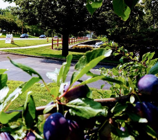 Avalon Suites: Fall plums adorn trees in park adjoining our Suites.