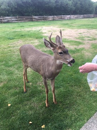 Ocean Shores, WA: Local deer eat right from your hand.