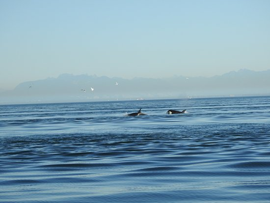 Anacortes, Ουάσιγκτον: Taken with a telephoto lens. Orcas much farther to the naked eye.
