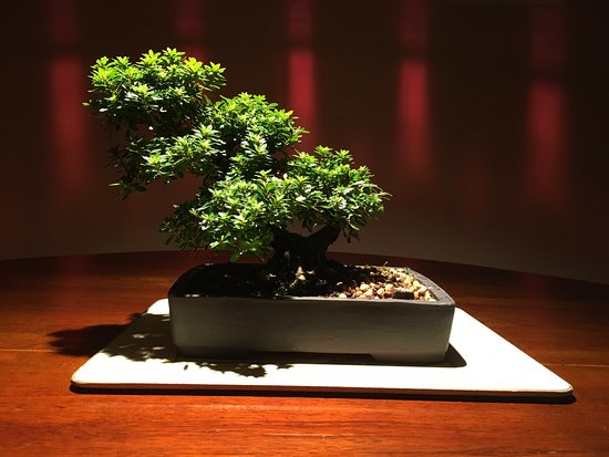 Bonsai Piccin