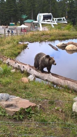 North Vancouver, Kanada: Bears at Grouse mountain