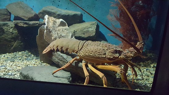 EcoWorld Aquarium and Wildlife Rehabilitation Centre: A big crayfish
