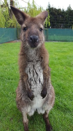 Waimate, New Zealand: What a happy little wallaby